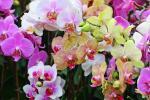 Ορχιδέες phalaenopsis