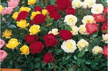 Τριανταφυλλιές μινιατούρες mini rosa